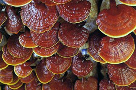 Китайские грибы ганодерма